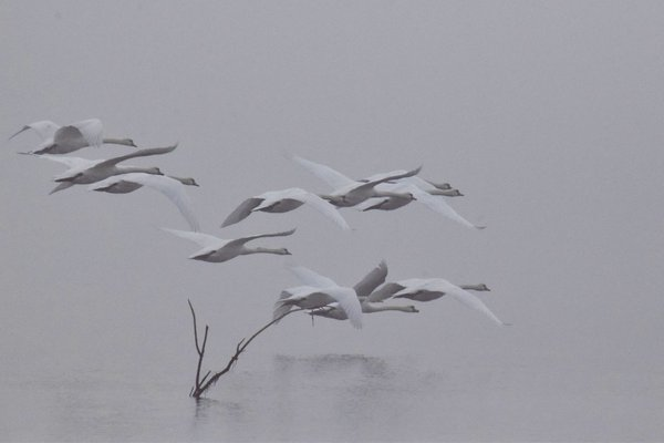 swans in the mist thumbnail
