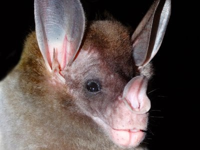 The spectral bat (Vampyrum spectrum), the world's largest carnivorous bat, feeds on small birds, amphibians, reptiles and mammals—including other bats.