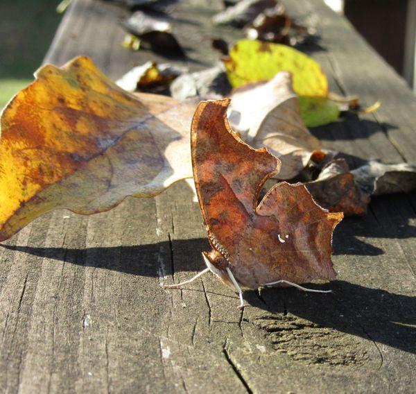 Leaf Butterfly amid fall foliage thumbnail