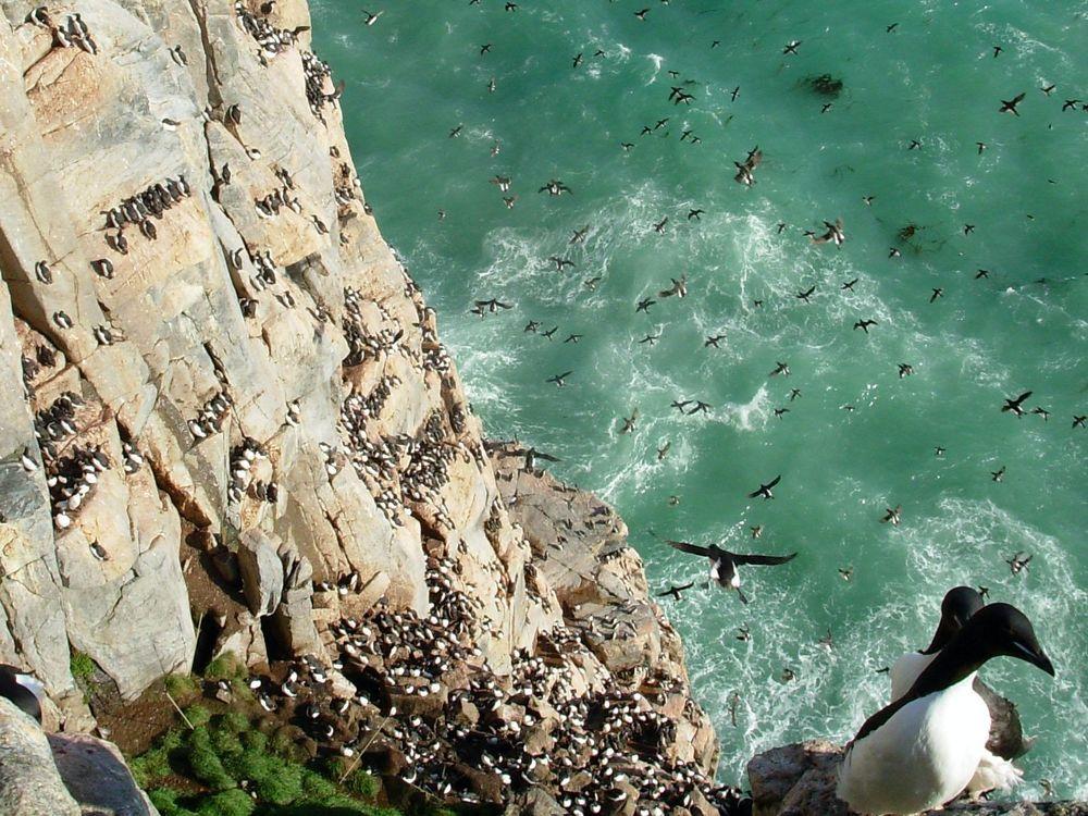 murres on cliffs.jpg