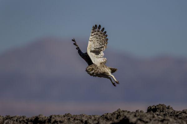 Burrowing Owl thumbnail