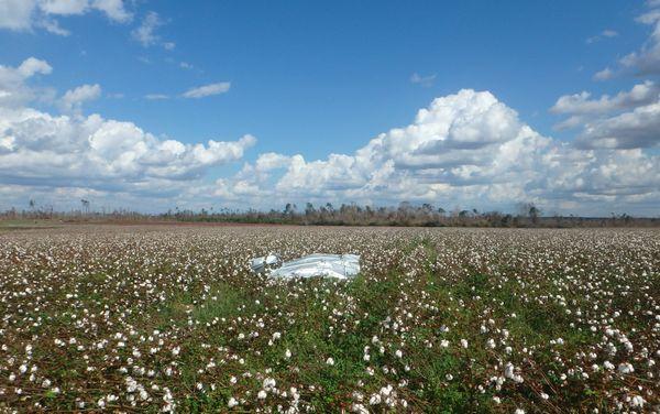 Hurricane debris in Cotton field thumbnail