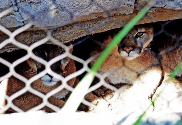 Mountain Lions at the San Diego Zoo thumbnail