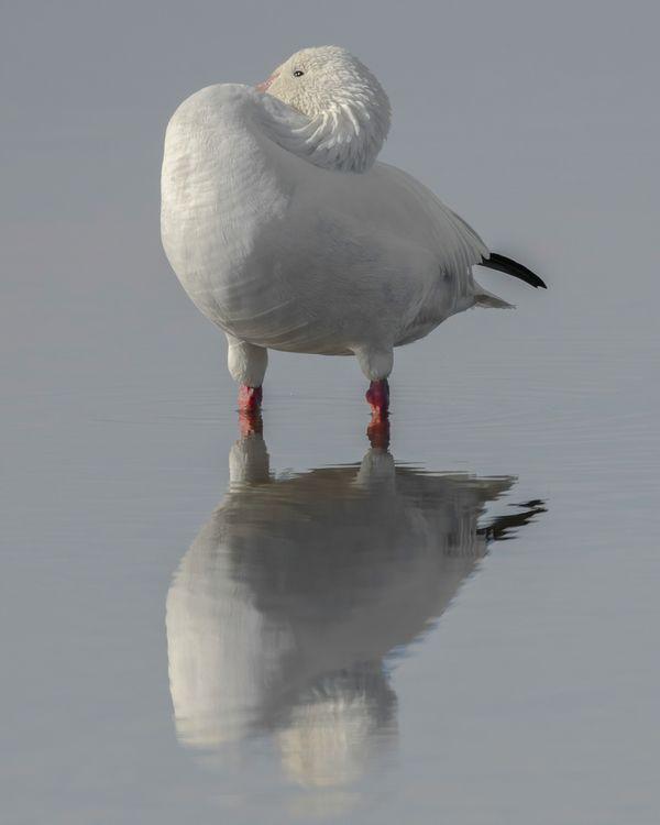 Peeking Snow Goose and its reflection thumbnail