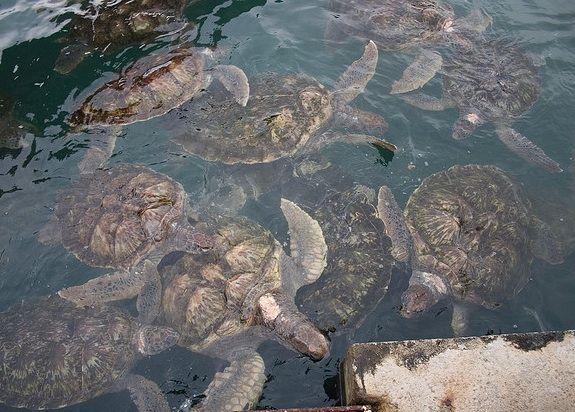 A sea turtle farm in Gran Cayman