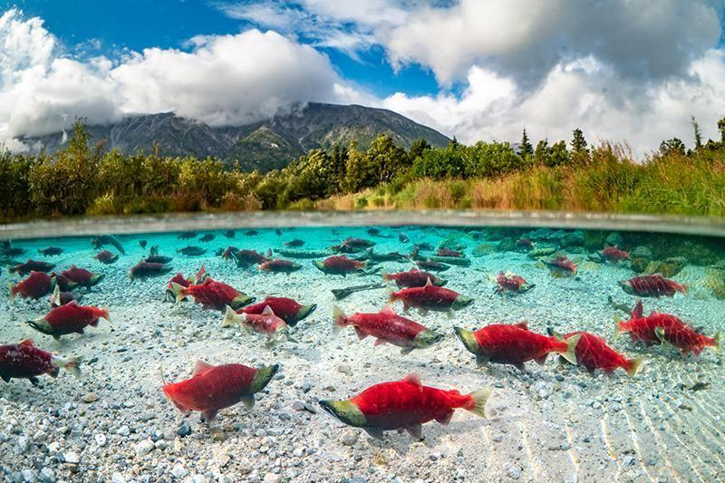 Sockeye salmon spawning in a pond-main.jpg