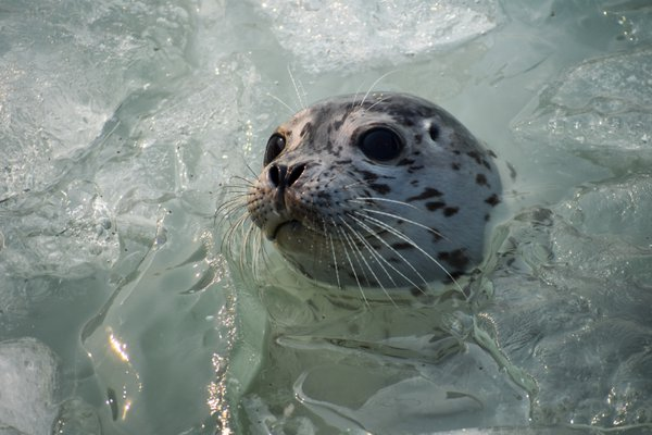 Harbor Seal Pup Peeking out of the Ice thumbnail