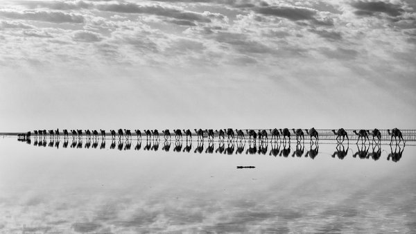 Reflection of clouds while camels transport salt in Afar desert thumbnail