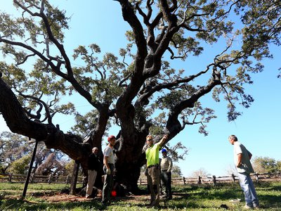 """Arborists gather around the """"Big Tree"""" last year to remove soil that had built up around its base."""