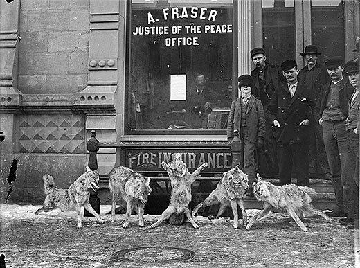 Coyote carcasses posed in front of A Frasers office