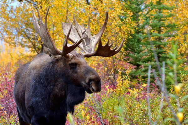 Beautiful Autumn Bull thumbnail