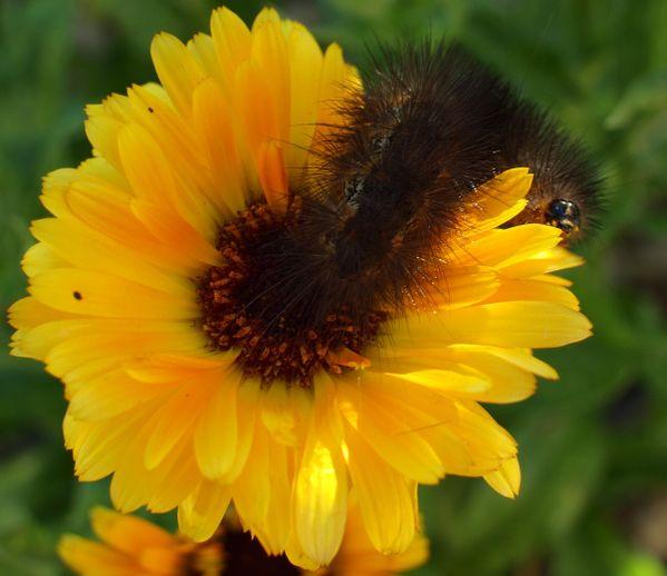 Caterpillar inching over flowers thumbnail