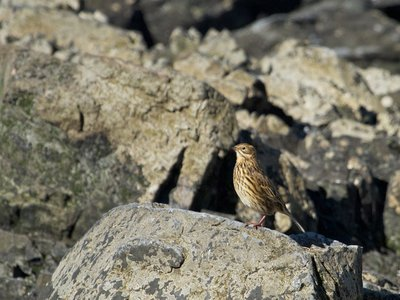 The South Georgia pipit has been one of the hardest-hit species by the island's rodent population. The government announced Monday that the island is now rodent free.