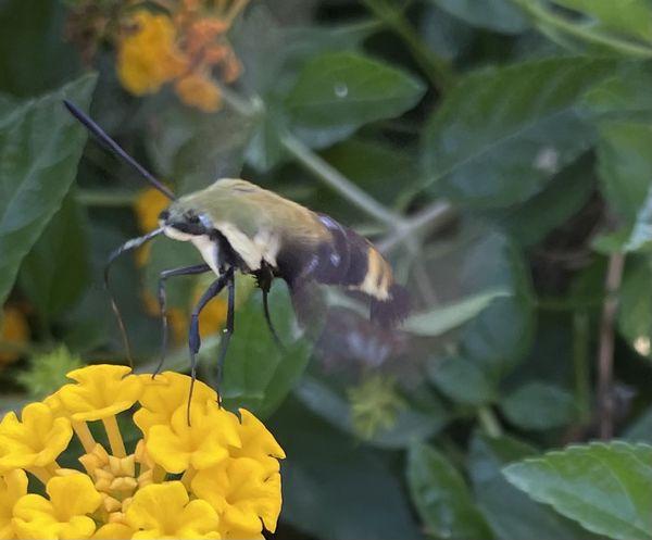 Hummingbird Hawk Moth thumbnail