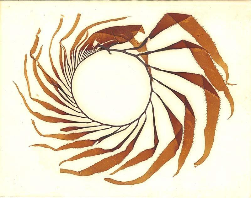pressed kelp.jpg