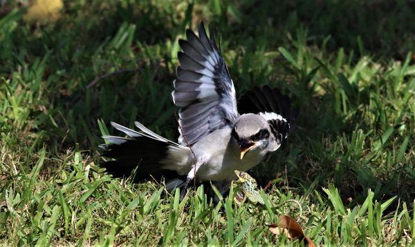 Loggerhead Shrike Fledgling! thumbnail