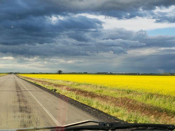 Canola Field Southern Alberta thumbnail