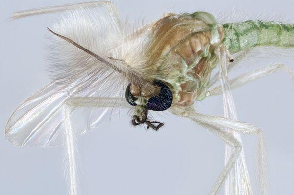 Chironomidae mosquito portrait thumbnail