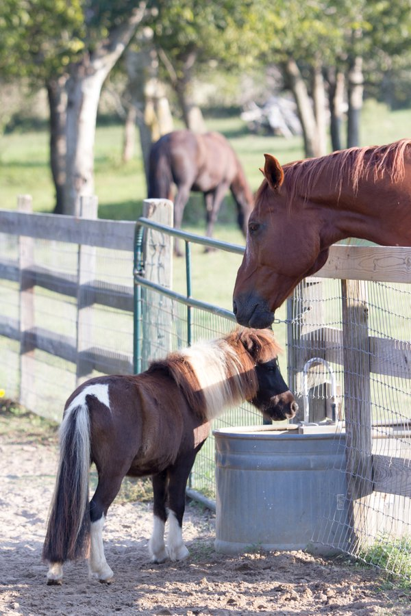 Miniature horse and standard size horse sharing water trough thumbnail