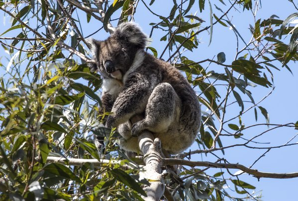 A peaceful koala up in a still living tree thumbnail