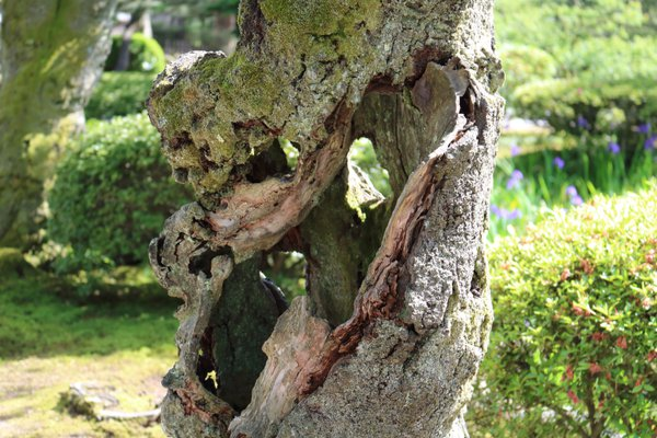 Unusual Tree Trunk in the Kenrokuen Garden thumbnail