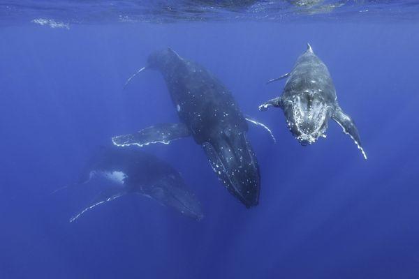 Whale trio thumbnail