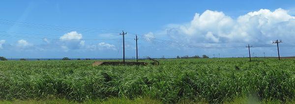 A large cane haul truck follows a dirt road through tall sugar cane on Hawaii's last sugar plantation., now ending operations.  thumbnail