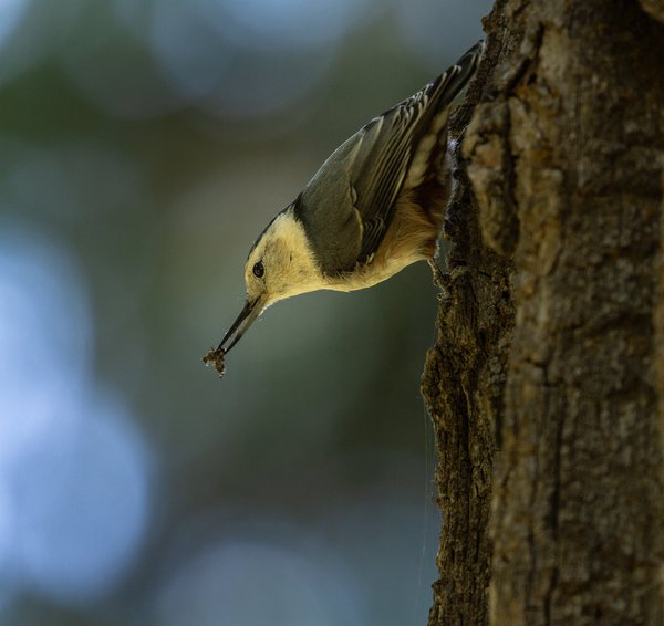 Hungry Nuthatch: A nuthatch eating an insect  thumbnail
