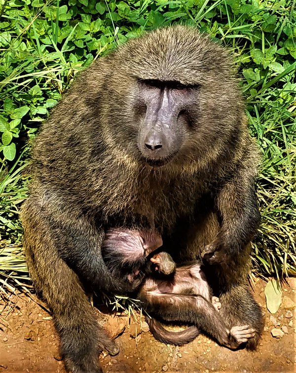Baby and Mamma Ape, Uganda thumbnail
