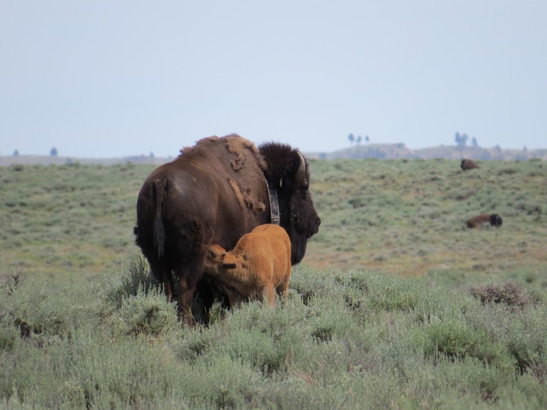 A female bison with a tracking collar nurses her small calf on a grassy, open area of the Northern Great Plains.