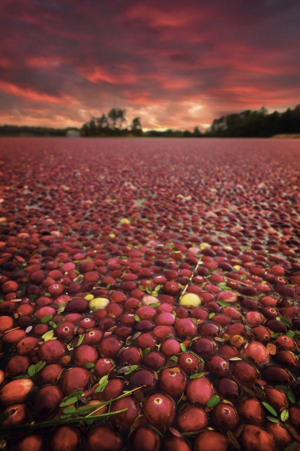 Cranberry Bog Sunset thumbnail