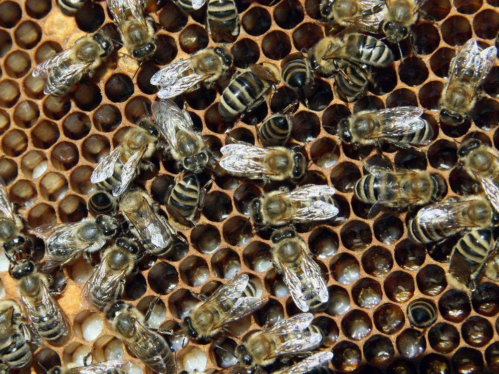 Bienen_mit_Brut_2.jpg