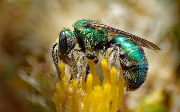 A metallic green sweat bee collects pollen for her young. thumbnail