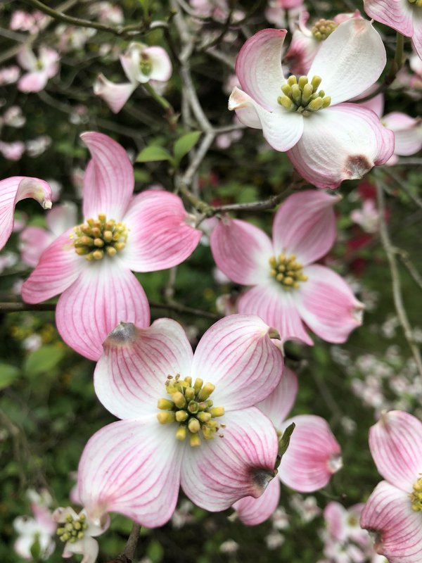 Dogwood Bloom thumbnail