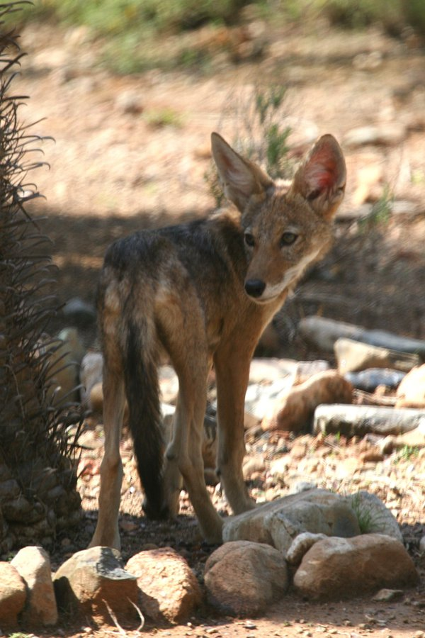 Baby coyote next to barrel cactus. thumbnail