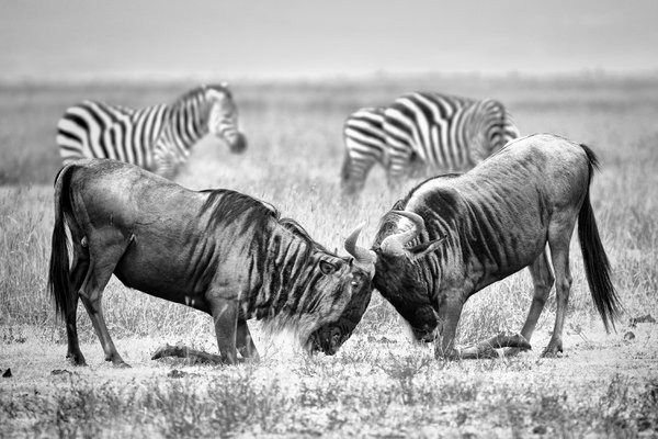 Fight wildebeest thumbnail