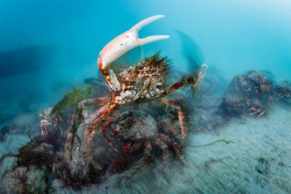 Territorial spider crab thumbnail