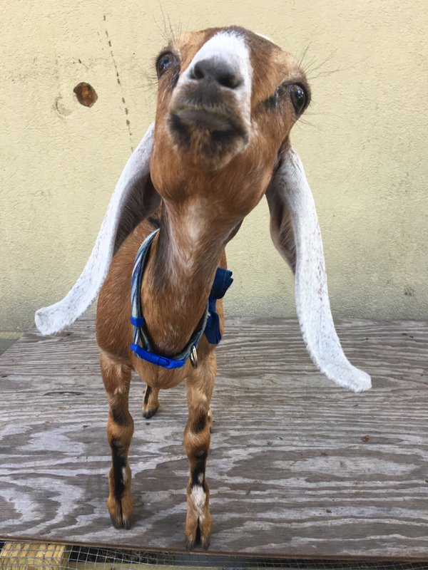 A baby goat is ready for her closeup. thumbnail