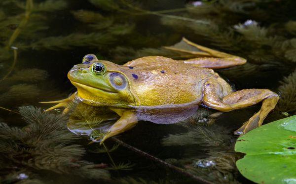 Spring fever, calling male Bullfrog. thumbnail