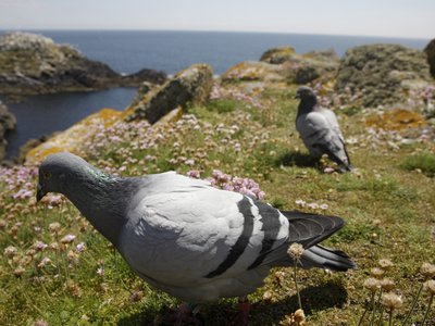 New evidence shows that Rock Doves (an ancestor to today's feral pigeons) were eaten by Neanderthals