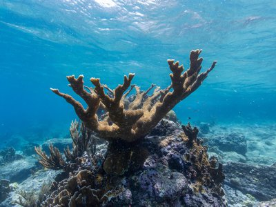 The Smithsonian's Mary Hagedorn and hundreds of colleagues collaborated on the project, which used cryopreserved elkhorn coral sperm to fertilize live eggs to create larvae.