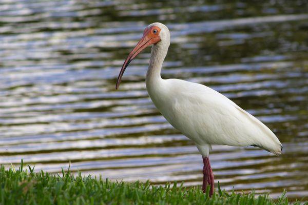 White Floridian Ibis thumbnail