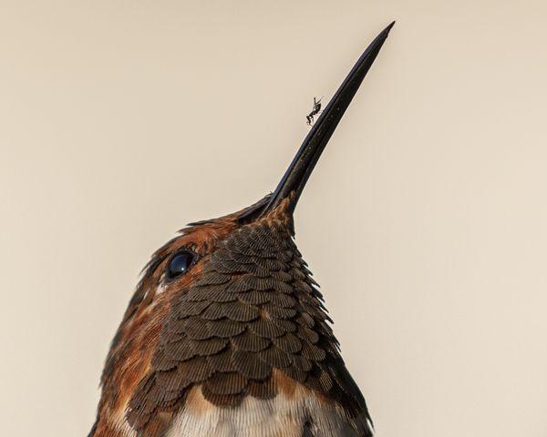 Hummingbird & the Fig Wasp thumbnail