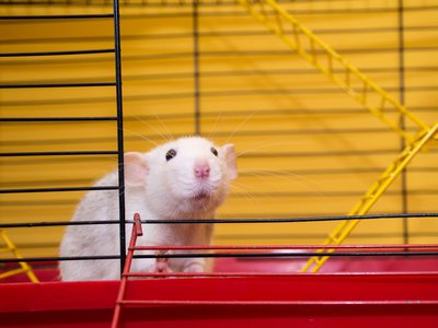 Due to their genetic and physiological similarities to humans, lab rodents have become the cornerstone of animal research.