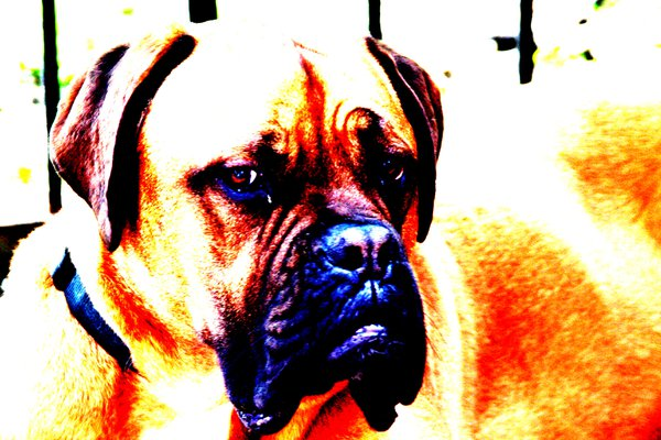 a 140 lbs female mastiff poses for a portrait thumbnail