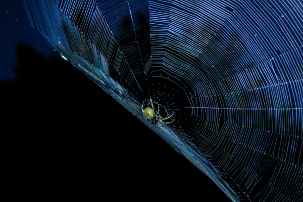 Orb Spider by Moonlight thumbnail