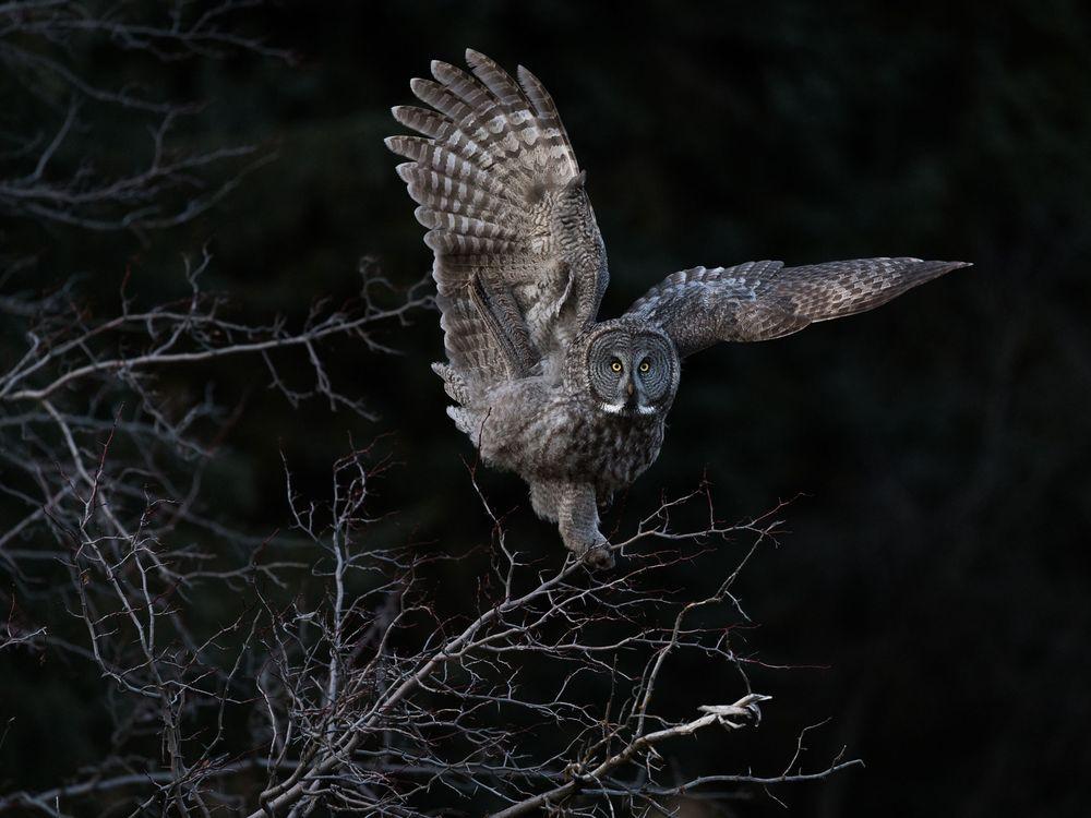 Aud_APA-2018_Great-Gray-Owl_P0-6609-1_Photo-Steve-Mattheis.jpg