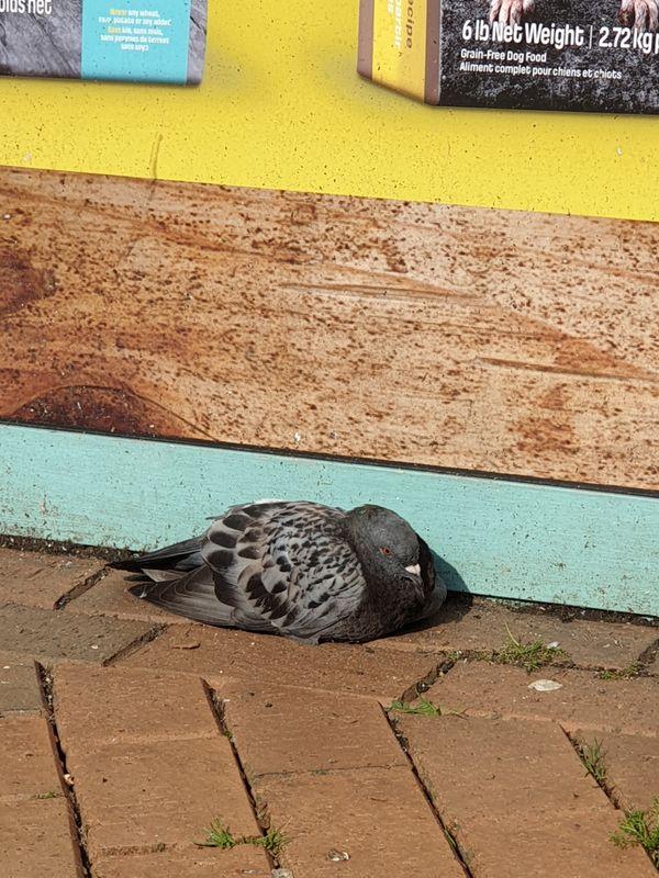 Pastel pigeon resting thumbnail