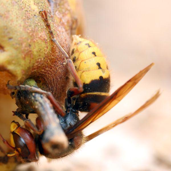 Hornet having dinner thumbnail
