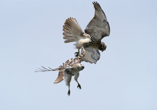 Red-tailed Hawks at State Line Lookout (New Jersey) thumbnail